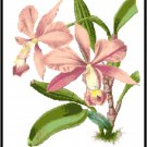Cattleya Walkerlana Orchid Cross Stitch Pattern Chart Graph