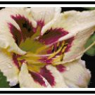 Cream Daylily with Aubergine Throat Pattern Chart Graph