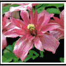 Double Clematis Bloom Pattern Chart Graph