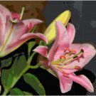 Asiatic Lily Pattern Chart Graph