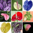 free ship 20 Rare Flower Seeds Anthurium Andraeanu Seeds Balcony Potted Plant Anthurium Flower Seed