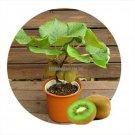 free ship Thailand Mini Kiwi Fruit 1seeds 40 Seeds Bonsai Plants, Delicious Kiwi Small Fruit Trees