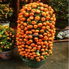 10 seeds Balcony Patio Potted Fruit Trees Planted Seeds Kumquat  Orange  Tangerine Citrus free ship