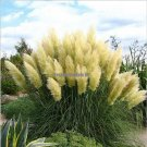 Pampas Grass Seed Patio and Garden Potted Ornamental Plants  Flowers Pink Yellow White Purple Corta