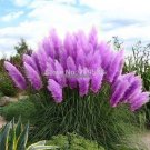 Pampas Grass Seed Patio and Garden Potted Ornamental Plants  Flowers Cortaderia Grass Seed flowers