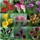Promotions Bonsai and Colorful Calla Lily Seed Rare Plants Flowers Seedsnot Calla Lily Bulbs  5 See