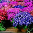 100 seeds, mixed color Cineraria seeds, potted seed, flower seeds for home  garden  Promotion