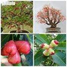 Bonsai Wax Apple Fruit Seed Delicious Non Gmo Semente De Frutas Tropicais Tree Seeds Courtyard Orna