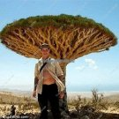 Rare Big Dracaena Tree Seeds Canary Island Dragon Blood Tree  Dracaena Draco Perennial Bonsai Seed