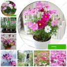 Galsang Flower Seeds Thailand Bonsai Flower Seeds Nature Plants Sementes Mini Jardim Best Sellers O