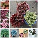 Rare Hypoestes Polkadot Seed Rainbow Herb Flower Bonsai Seed Perennial Easy To Grow Decorative Land