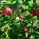 Bitter Candy Seeds Cha Pa Guo Fruit Tree Seeds Exotic Bonsai Potted Tohum Diy Home Garden Child Gif