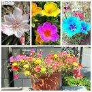 Rare Colorful Garden Portulaca Grandiflora Seed Bonsai Decoration Sun Plant Seeds, Family Pine Need