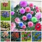 Colorful Dahlia Seeds Bonsai Tree Plants Asteraceae Perennial Flowers Dahlia Pinnata Seeds For Home