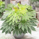 Fatsia Japonica Seeds Bonsai Plant, Garden Ornamental Flower Seeds Chinese Medicine Herb Leaves Of