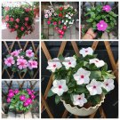 Periwinkle Seeds Potted Four Spring Day Spring Climbing Plant Vinca Flower Season Balcony View Flow