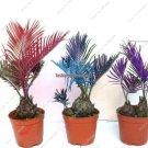 Multi Color Exotic Cycas Plants Seeds Import Evergreen Palm Tree Seeds 5 Pcs Fleur Et Plante Purify