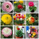 Ranunculus Double Buttercup Seeds Charming bonsai Plants Goods For The Garden And Cottages Natural