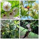 Perennial Elaeocarpus Flower Seeds Outdoor Shrub Seeds Bonsai Tree Plantas Tropicales Sementes Mini