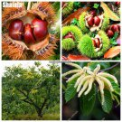 Chinese Chestnut Fruit Tree Seeds Castanea Mollissima Seeds Delicious Nut Food Seeds Courtyard Bons