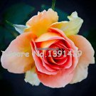 11.11 On Sale 120 Brass Band Rose Seeds Rare Species DIY Home Garden Bush Bonsai Yard Flower Free S