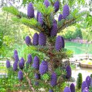 50 pcs lot purple Korean fir seeds   Abies koreana   bonsai tree seeds SOW ALL YEAR garden decorati