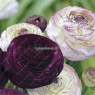 100 Rare Purple Ranunculus asiaticus Flower Seeds For Home  Garden decoration DIY indoor Plants Pe