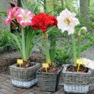 Promotion 200 pcs  bag Amaryllis seeds, cheap Amaryllis seeds, Barbados lily potted seed, Bonsai ba