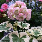 200 Pcs Two color Univalve Geranium Seeds Pelargonium Peltatum 'Westdale Apple Blossom' in Gardens