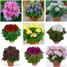 50pcsbag Rare geranium seeds Variegated Geranium seed winter garden flower for bonsai potted plant