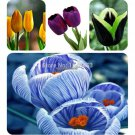 1000 PC 16kinds courtyard high grade blue striped tulips seeds flower seed, the world's rare bonsai