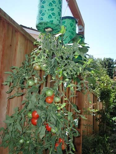 Topsy Turvy Tomato Plant