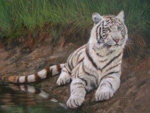 WHITE TIGER New DAVID STRIBBLING Ltd Ed Wildlife Print.