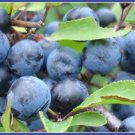 Jackal Plum - Prunus spinosa 15 Seeds (Rare-Wild-Fresh)