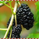 Black Mulberry Tree 50 Seeds (Anatolian - Rare - Fresh)