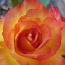 Rose Soul 6, 5x7 Print - Fine Art Image Photo Digital Flower floral flame rose