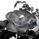 Charc Dark , 5 x 7 Print, Fine Art Image Photo Digital, flower floral Rose Flame