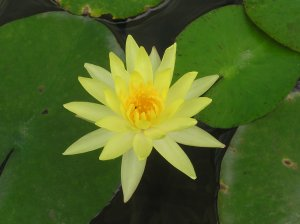 Nelumbo Nucifera ~ YELLOW LOTUS Lily Pad Seeds
