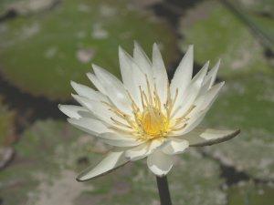 Nymphaea Ampla WHITE Dotleaf WATER LILY SEEDS Lotus (10 Seeds)