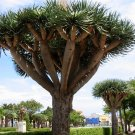 Dracaena Draco 8 DRAGON TREE SEEDS dragon's blood