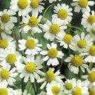 GERMAN CHAMOMILE 1000 SEEDS Relaxing Tea Herb -sedative