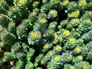 Fresh RHODIOLA ROSEA Seeds ~ Adaptogen RARE Golden Root