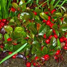 Creeping WINTERGREEN SEEDS Gaultheria Procumbens