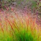 DACOTAH SWITCH GRASS 2000 Seeds Panicum Virgatum