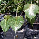 Ficus Religiosa BODHI Sacred Fig Tree seeds - BONSAI