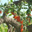 40 HIMALAYAN GOJI BERRY seeds Wolfberry **SUPERFRUIT*