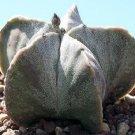 100 ASTROPHYTUM MYRIOSTIGMA Bishop's Cap / Miter seeds