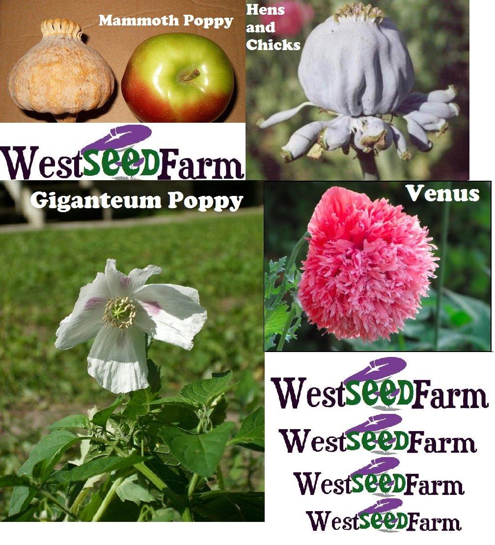Papaver Somniferum MAMMOTH HENS CHICKS GIGANTEUM VENUS Seeds! 4 Packs Total!