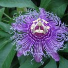 Viable Passiflora Incarnata PURPLE PASSION FLOWER seeds