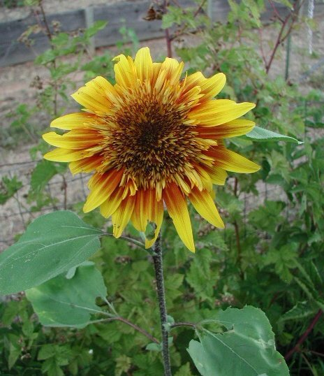 Sunflower Seed The Joker Hybrid Huge Red/Yellow Bicolor